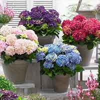 4 Hydrangea Music Collection