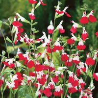 6 Salvia Hot Lips