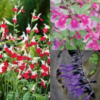 6 Hardy Salvia Collection