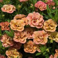 6 Calibrachoa Double Can Can Apricot