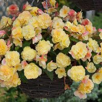 6 Begonia Fragrant Sweet Spice Citrus