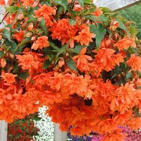 6 Begonia Illumination Orange