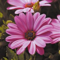 Osteospermum Serenity Pink Magic
