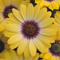 6 Osteospermum Serenity Blue Eyed Beauty