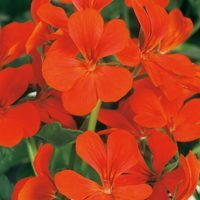 6 Geranium Trailing Orange
