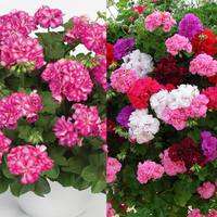 18 Double Cascading Geraniums