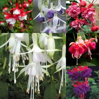 18 Fuchsia Award Winning Hardy Collection