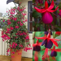 Fuchsia Climbing Collection