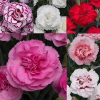 18 Dianthus Cottage Garden Pinks Collection
