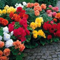 18 Non Stop Begonia Collection 5/6cm