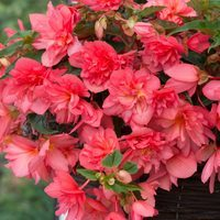 6 Begonia Northern Lights Pink Burst