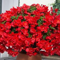 Begonia Northern Lights Scarlet Burst