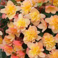 6 Begonia Northern Lights Gold