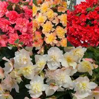 12 Begonia Northern Lights Collection