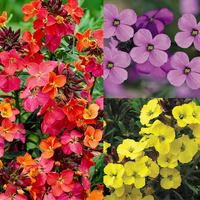 12 Erysimum Collection