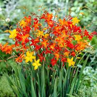 25 Crocosmia Mixed (Small Flowering)