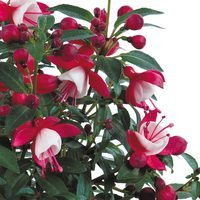 6 Fuchsia Patio Fairy Red White