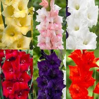 90 Gladioli Large Flowering Unusual Collection