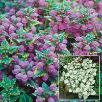 Lamium Hardy Collection