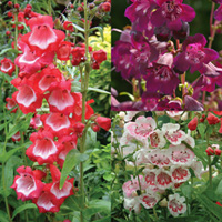 12 Penstemon Ice Cream Collection