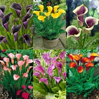 6 Zantedeschia Collection B