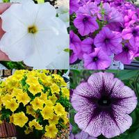12 Petunia Giant Flowering Collection