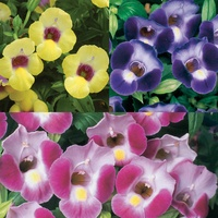 6 Torenia Collection