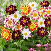 5 Dahlia Collarette Mixed