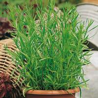 6 French Tarragon
