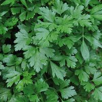 Parsley Smooth Leaf Napoli