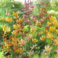 5 Lilium Martagon Mixed