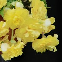 Begonia Illumination Lemon