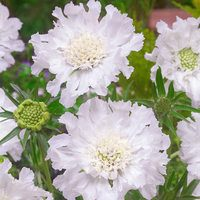 6 Scabiosa Snow Cushion