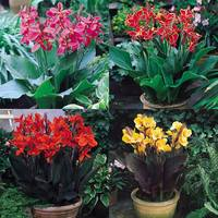 Canna Dwarf Collection