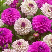 6 Decorative Dahlia Partner Collection