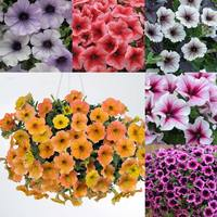18 Petunia Veined Collection