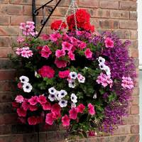 6 Hanging Basket Plants Mixed
