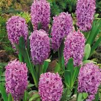 10 Hyacinth Purple Voice 14-15cm