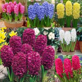 60 Bedding Sized Hyacinths