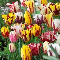 15 Rembrandt Tulips Mixed