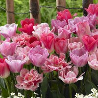 15 Tulip Pink Blend Mixed
