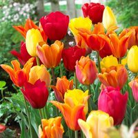 15 Tulip Orange Blend Mixed