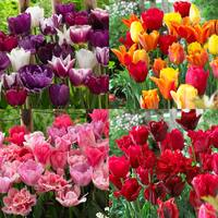 60 Tulip Blend Collection