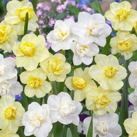 60 Daffodil Cheerfulness Collection