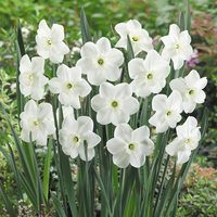 10 Narcissi Piper's End 12/14cm