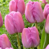 Tulip Purple Pride