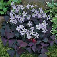 15 Oxalis Triangularis