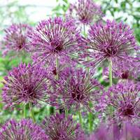 25 Allium Purple Rain