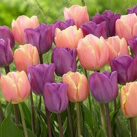 30 Tulip Magic Lavender / Mango Charm