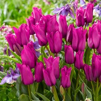 Tulip Purple Bouquet